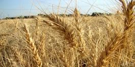 افزایش هزار تومانی قیمت گندم با توجه به رشدهزینه ها کافی نیست