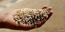 تشکیل شورای قیمت گذاری محصولات کشاورزی برای اصلاح نرخ گندم
