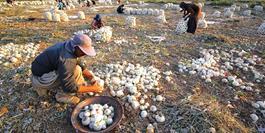 پیاز دزفول به علت ارزانی و به صرفه نبودن برداشت، خوراک گوسفندان می شود